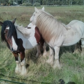 Koně v Dobré Vodě